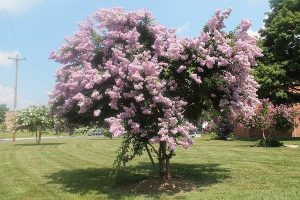 lagerstroemia-indica-elvert-barnes-cc-by-sa-2-0